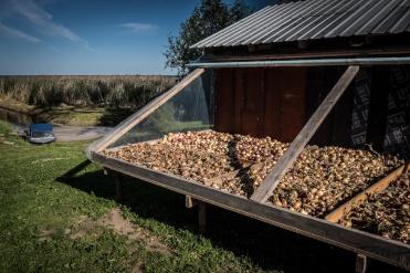 Alcune fattorie offrono la possibilità di conoscere usi e costumi locali e tutte le informazioni sulla coltivazione delle cipolle