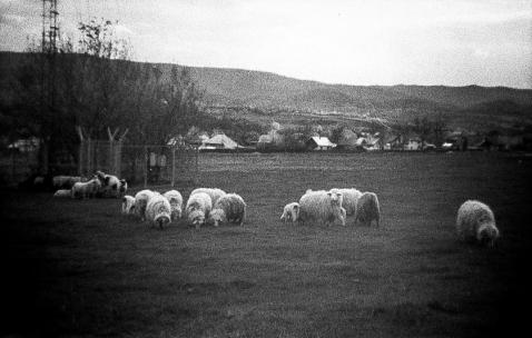 Distretto di Suaceava - Pecore al pascolo